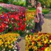 campi di tulipani in italia